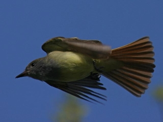 Great Crested Flycatcher in flight (photo by Chuck Tague)