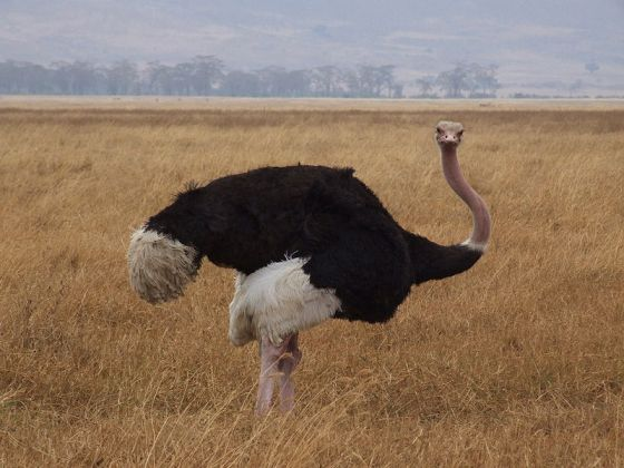 Ostrich at Ngorongoro, photo by Wikimedia user Nicor