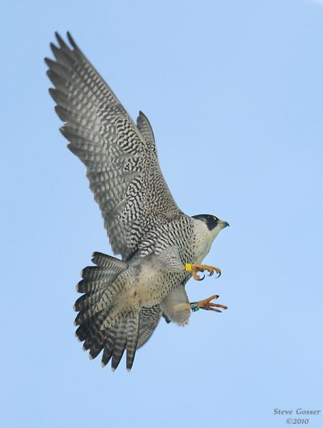 Peregrine at Tarentum (photo by Steve Gosser)