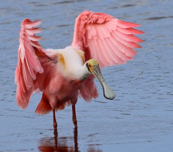 Roseate Spoonbill, Merritt Island, Florida (photo by Chuck Tague)