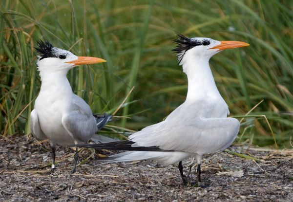Pair of Royal Terns in New Jersey (photo by Kim Steininger)