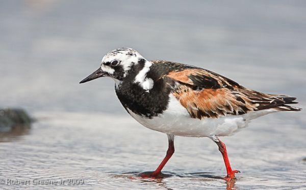 Ruddy Turnstone (photo by Bobby Greene)