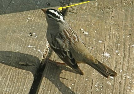 White-crowned Sparrow (photo by Marcy Cunkelman, altered to highlight the crown)