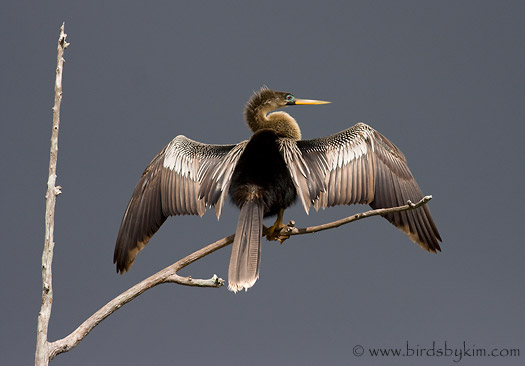 Anhinga (photo by Kim Steininger)