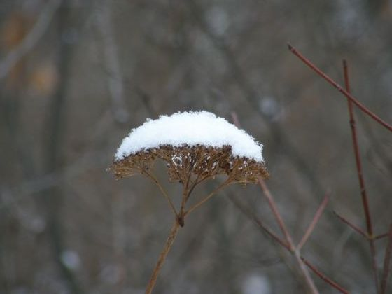 Queen Anne's Lace in winter (photo by Marcy Cunkelman)