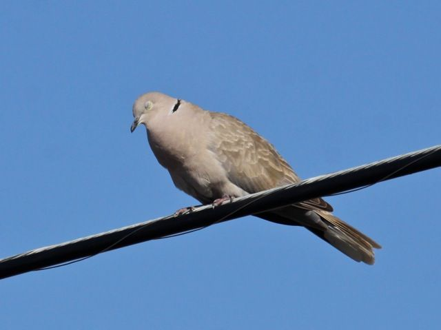 Eurasian collared dove with its nictitating membranes closed (photo by Chuck Tague)
