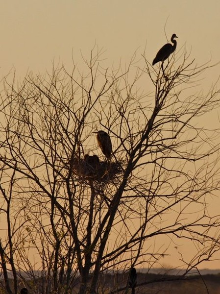 Great blue herons' nest at sunrise (photo by Chuck Tague)