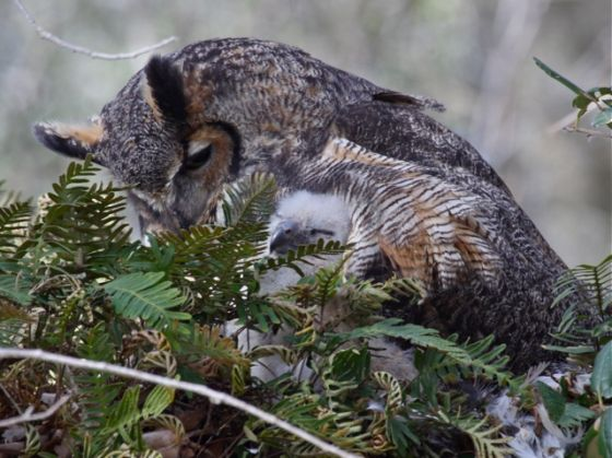 Great horned owl mother and owlet (photo by Chuck Tague)