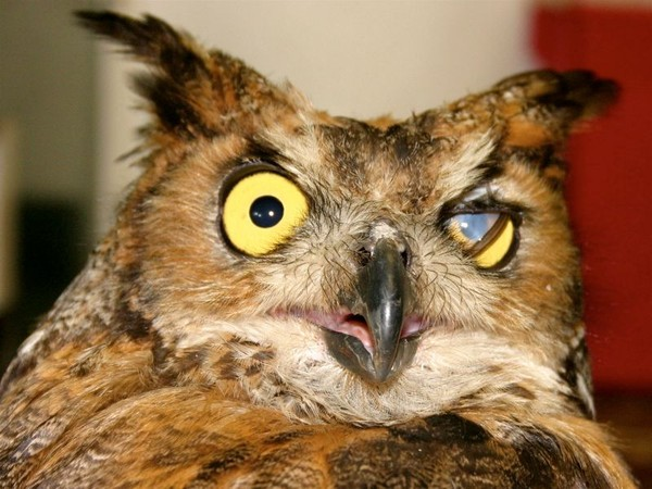 Great horned owl blinking its thrid eyelid (photo by Chuck Tague)