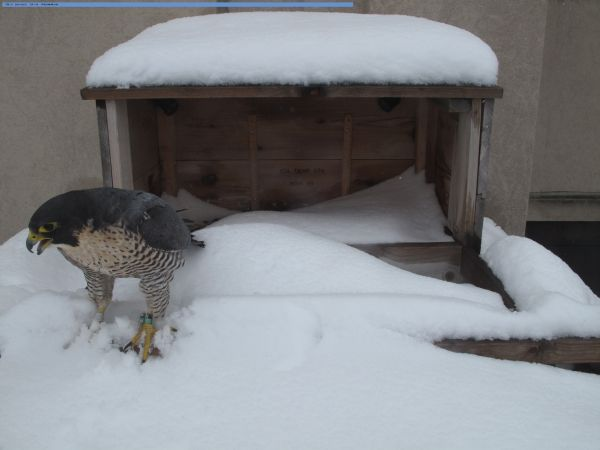 Peregrine (Beauty) in deep snow, Feb 27, 2010 (photo from Rochester, NY webcam)