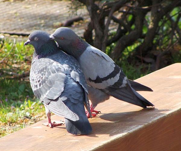 Pigeons courting (photo by Aomorikuma via Wikimedia Commons)
