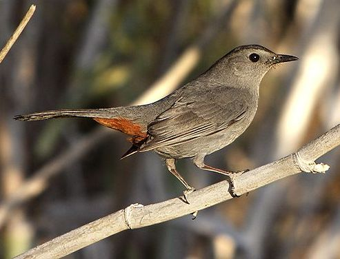 Gray Catbird (photo by Alan Vernon from Wikimedia)