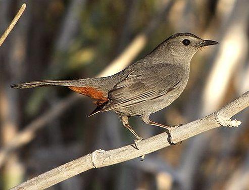 Gray Catbird (photo by Alan Vernon from Wikimedia)