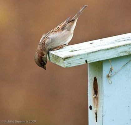 House sparrow eyeing a bluebird nest box (photo by Bobby Greene)