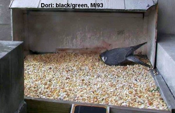 Dori is large; her tail touches the wall (photo from the National Aviary falconcam at Gulf Tower)