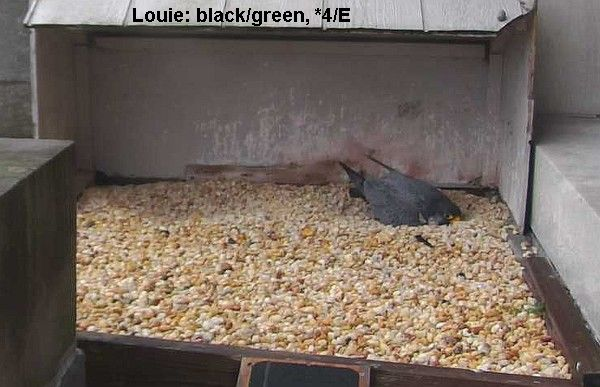 Louie is small (photo from the NationalAviary falconcam at Gulf Tower)