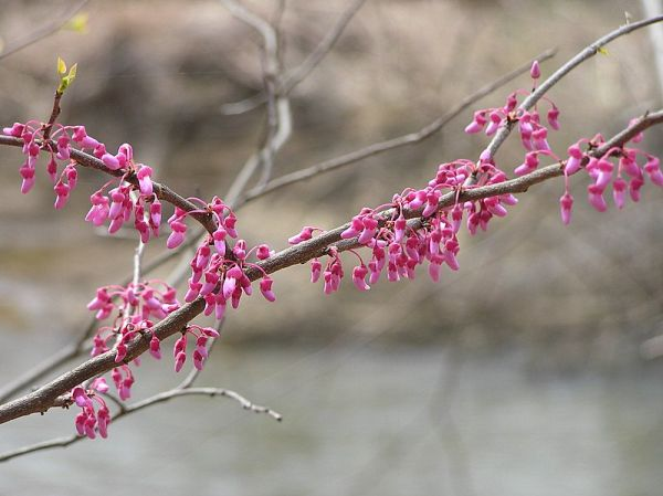 Redbud blooming (photo by Dianne Machesney)