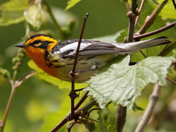 Blackburnian Warbler (photo by Chuck Tague)