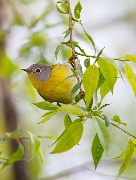 Nashville Warbler at Magee Marsh (photo by Brian Herman)