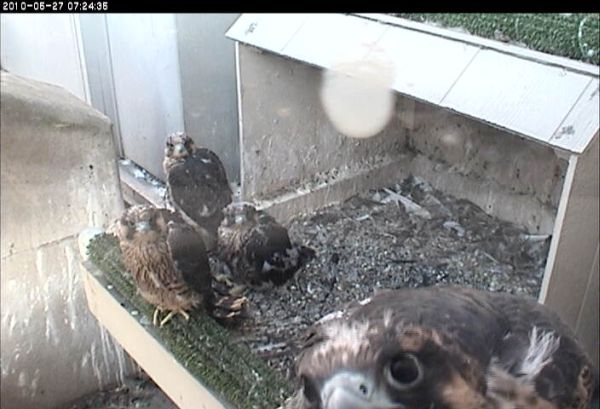 Peregrine ledge-walking at Pitt (photo from the National Aviary webcam)