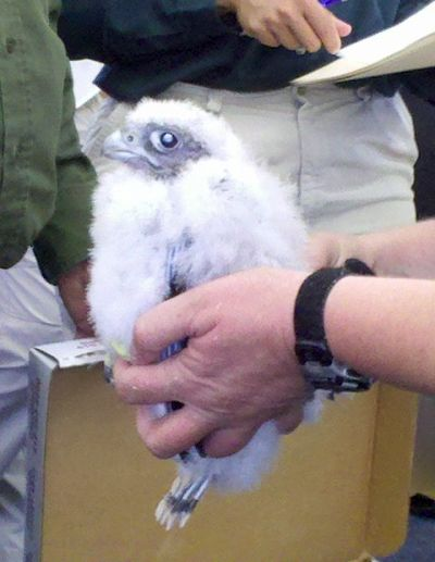 Pitt peregrine chick at Cathedral of Learning banding (photo by Kate St. John)