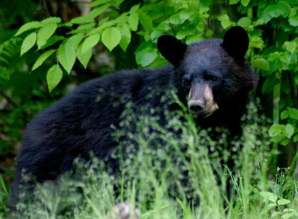 Black Bear (photo by Chuck Tague)