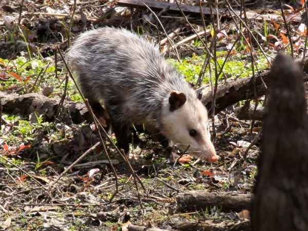 Virginia Opossum (photo by Chuck Tague)