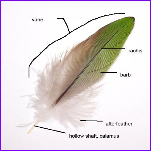 anatomy parts of a feather outside my window