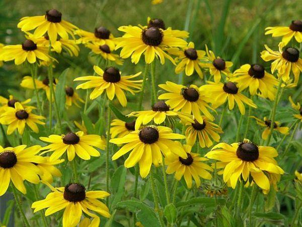 Summer beauty yellow coneflowers outside my window now mightylinksfo
