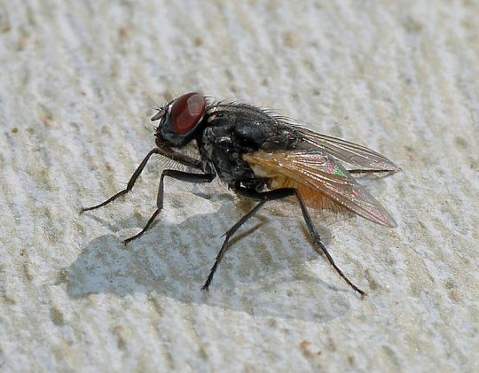 House fly (photo by Alvesgasper from Wikimedia Commons)