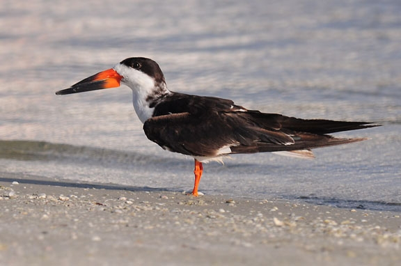 Black Skimmer (photo by Steve Gosser)