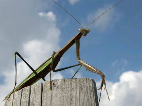 Praying Mantis (photo by Marcy Cunkelman)