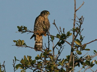 Merlin (photo by Chuck Tague)