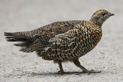 Female spruce grouse in Canada (photo from Wikimedia Commons)