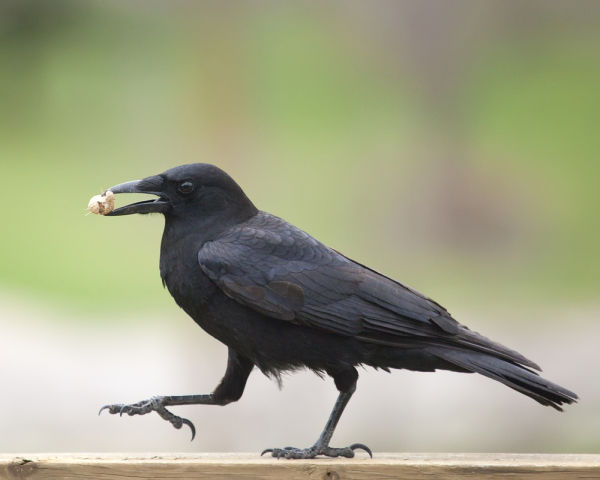 American Crow with peanut (photo from Shutterstock by Al Mueller)