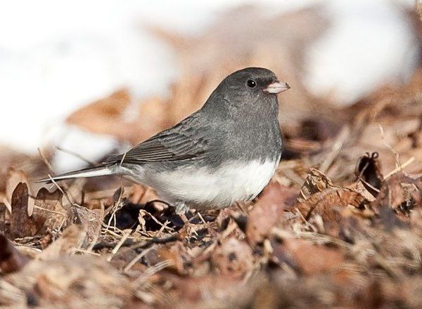Dark-eyed Junco (photo by Bobby Greene)