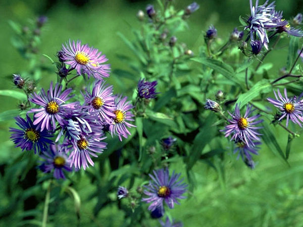 outside my window » which purple aster?, Beautiful flower