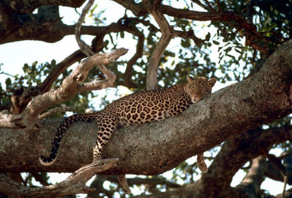 Leopard on a tree (photo from Wikimedia Commons)