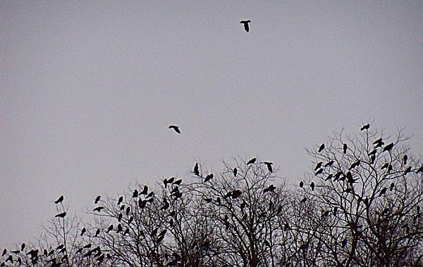 Crows coming to roost in Pittsburgh (photo by Sharon Leadbitter)