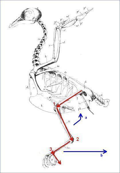 Bird leg anatomy
