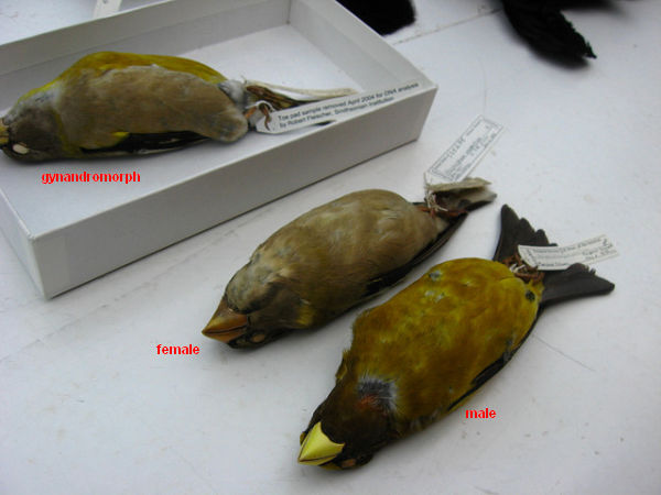 Evening Grosbeak specimen at the Smithsonian, male, female and gynandromorph (photo by ap2il via Flickr, Creative Commons license)