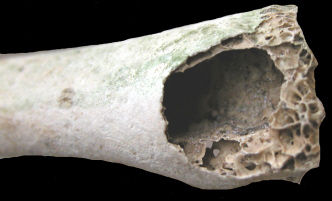 Hollow bone (photo from Henderson State Univ Nature Trivia by Renn Tumlison)