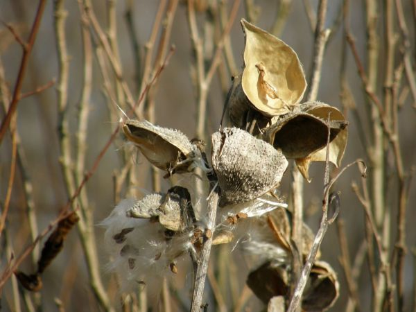 Milkweed pods in winter (photo by Marcy Cunkelman)