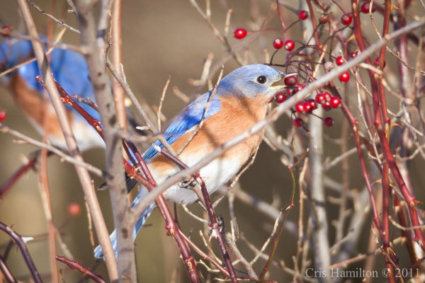 Eastern bluebirds eating rosehips (photo by Cris Hamilton)