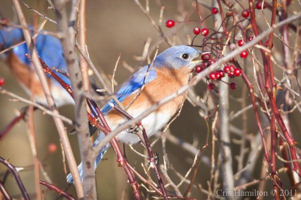 Eastern bluebirds eating rosehips (photo by Cris Hamilton)