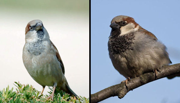 Comparing bib size in two male House Sparrows (photos from Wikimedia Commons)