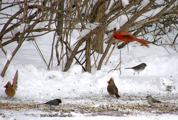 Female cardinal raises one wing to greet her mate (photo by Marcy Cunkelman)