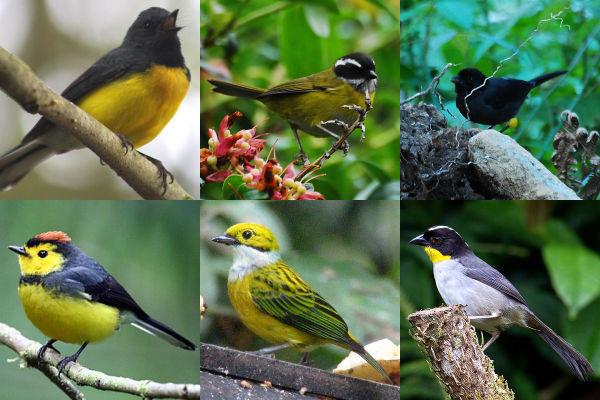 Black and yellow birds who flock together in Western Panama (photo composite)