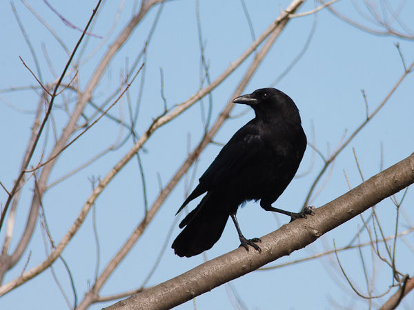 American Crow (photo by Brian Herman)