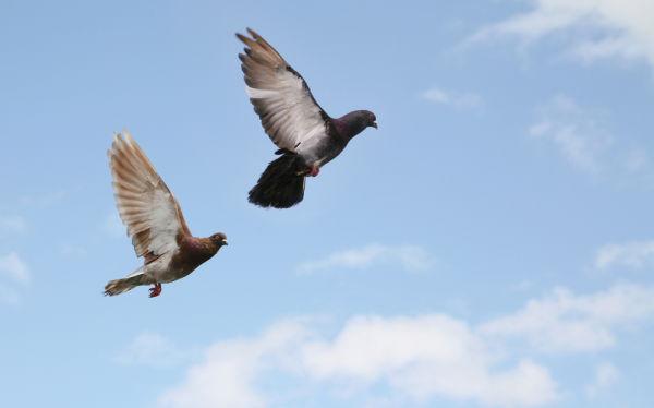 Two rock pigeons in flight (photo from Shutterstock)